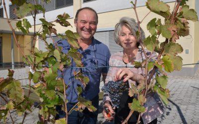 Trgatev žametne črnine – potomke najstarejše trte na svetu